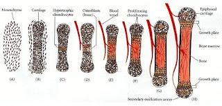 contoh tulang rawan dan tulang keras,perbedaan tulang rawan dan tulang sejati,fungsi tulang rawan dan tulang keras,fungsi dari struktur tulang keras dan tulang rawan,