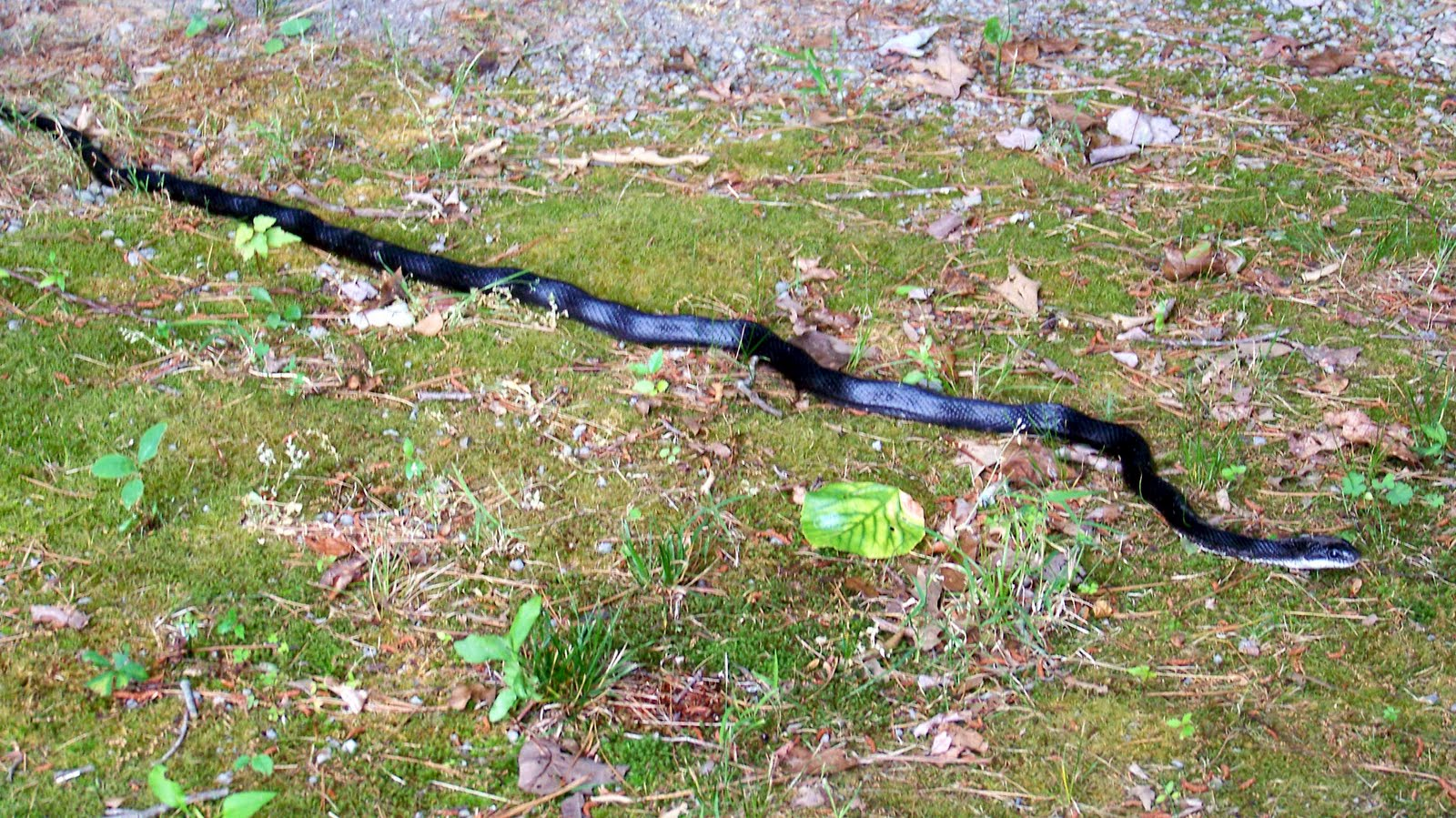 Hd Wallpaper Of Black Snake: HD Wallpaper Of Black Snake