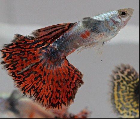 Ikan Hias Kecil Tahan Lama dan Tidak Mudah Mati
