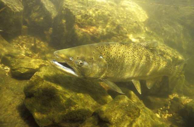 Engbretson Underwater Photography: Lake Michigan Salmon ...