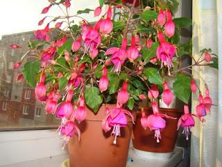 фуксия в горшках на окне подоконнике цветет