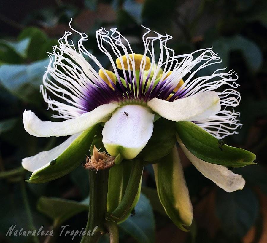 Vista inferior de la flor de la Pasionaria o Maracuyá, Passiflora edulis