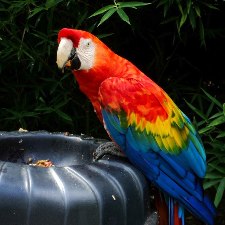 Arara Vermelha de Asa Verde, Zoo de Gramado