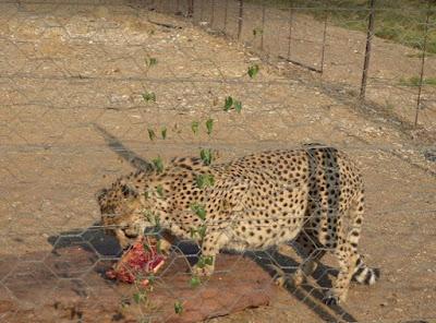 Ghepardo che mangia al quivertree forest rest camp