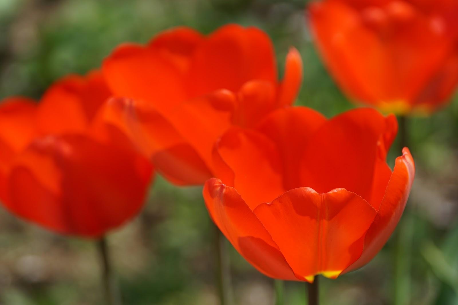 赤くて花柄の大きなチューリップ