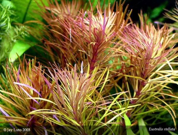 cây ngỗ tím cần được bổ sung thêm dinh dưỡng để cây phát triển tốt nhất