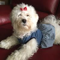 perro maltes vestido