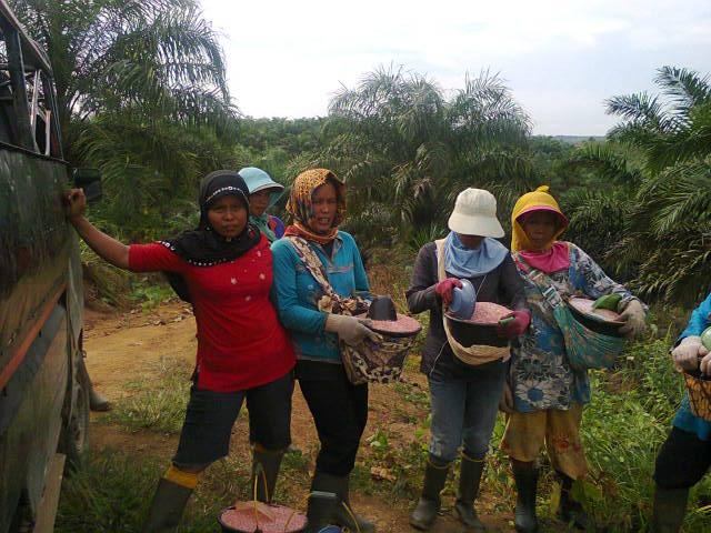 Unggul Kelapa Sawit Di Bengkulu Dosis Memupuk Kelapa Sawit Benar