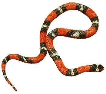 Cobra-Coral-Falsa (Erythrolamprus aesculapii)