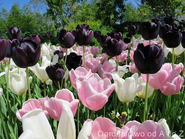 Tulipa 'Paul Scherer', 'Francoise', 'Mango Charm'