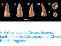 https://sciencythoughts.blogspot.com/2014/06/a-metriorhynchid-crocodylomorph-tooth.html