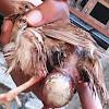 Prolapsus Pada Burung Puyuh
