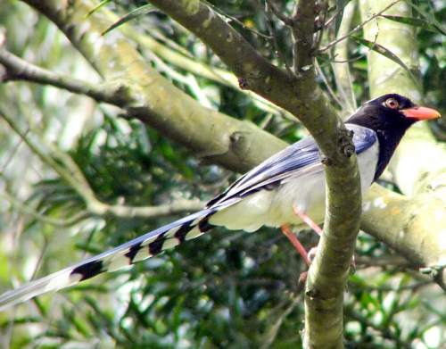 Indian birds - Image of Red-billed blue magpie - Urocissa erythroryncha