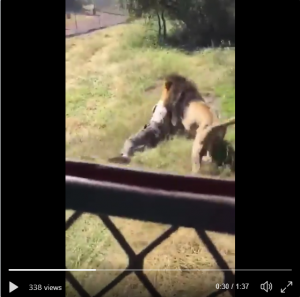 Lion Attacks And Drags A Man Who Entered His Cage (Video)