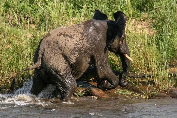 "Elephant hits crocodile"" viciously after biting trunk"