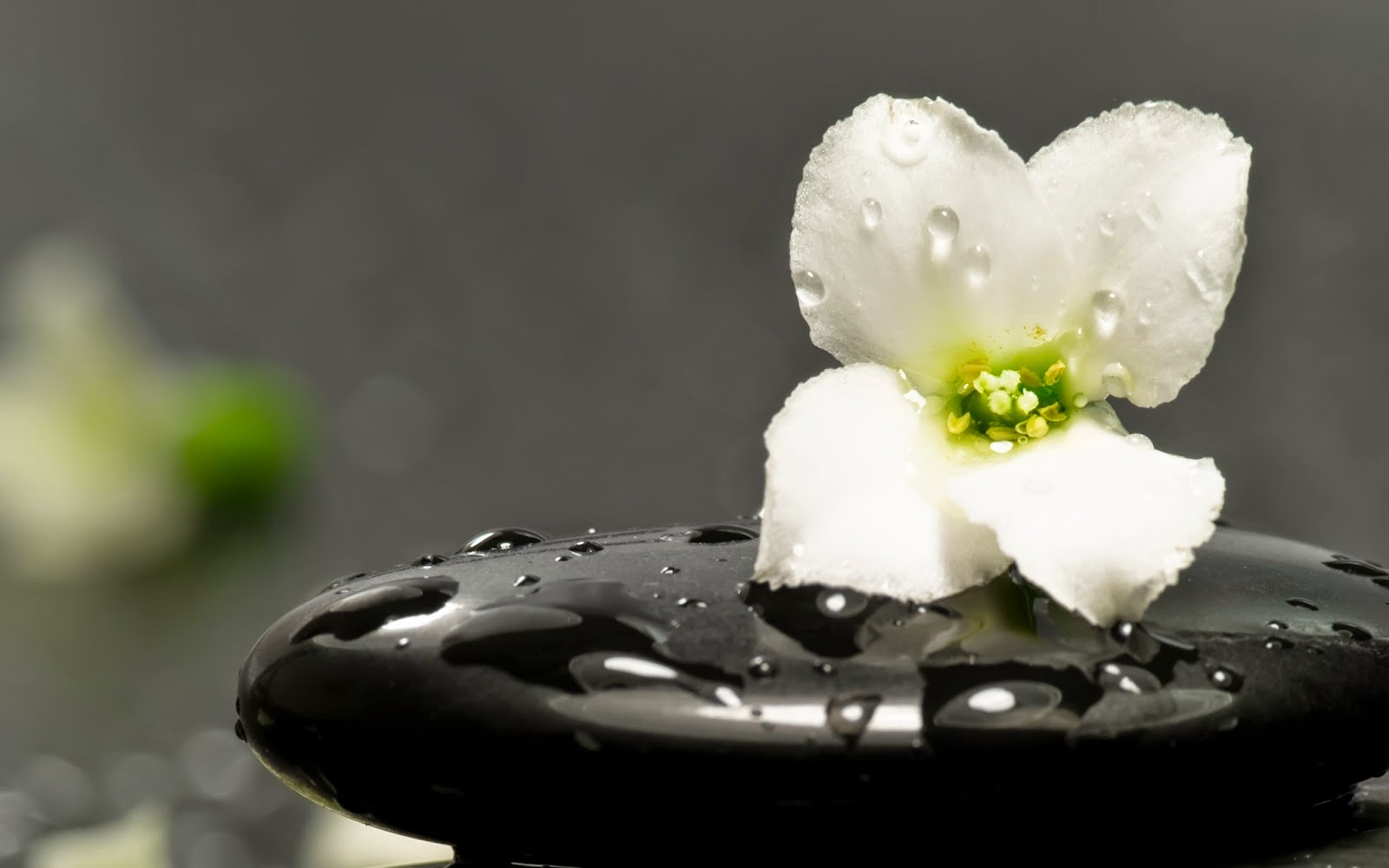 White-flower-zen-black-stone-with-water-drops-HD-pictures.jpg