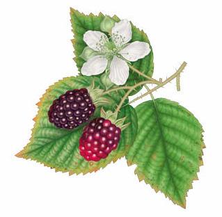 naturale natural beauty bellezza cosmesi cosmetici cosmetic lerbolario erbolario acquadimore acqua mora blackberry water body corpo
