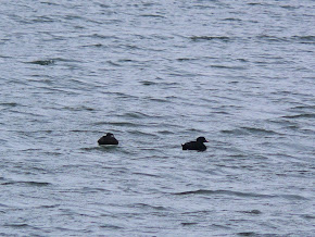 Common Scoters