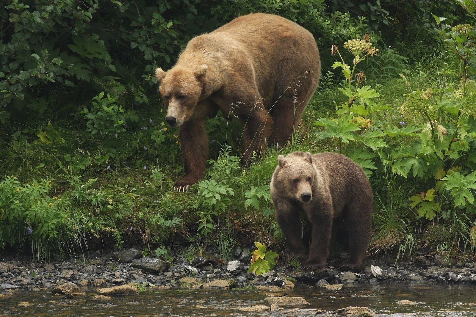 A picture of a Kodiak brown bear with it''s cub.