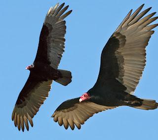 Burung Vulture