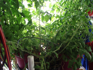 Accidental Indoor/Outdoor Tomatoes continued By Ed Powers