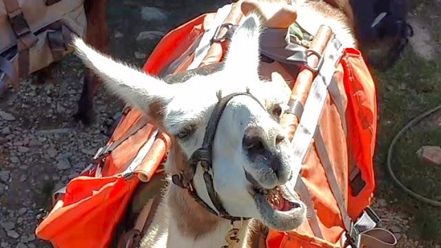 Lama Eating Up Close