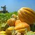 Penanganan Pasca Panen Blewah Dengan Waring Sayur