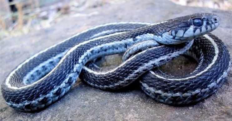 Batı karasal garter ya da Türkçe adıyla jartiyer yılanı sarı ya da beyaz şeritlerle kaplıdır.