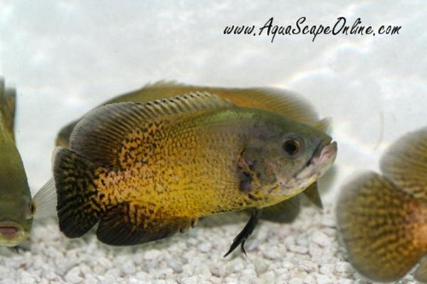 Ikan Oscar Gold