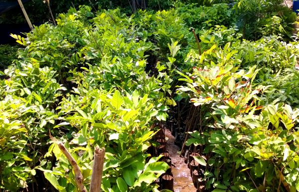 https://tipspetani.blogspot.com/2019/01/tips-perbanyak-bibit-pohon-rambutan.html