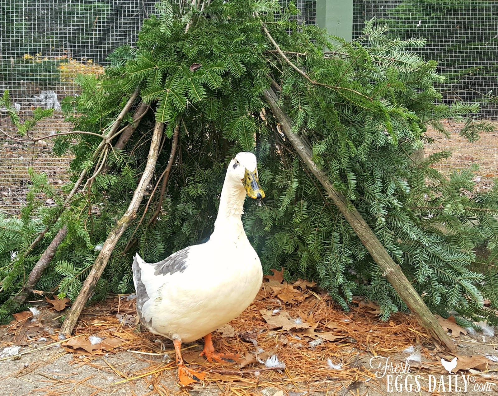 Easy diy duck or chicken teepee fresh eggs daily for How to build a duck shelter