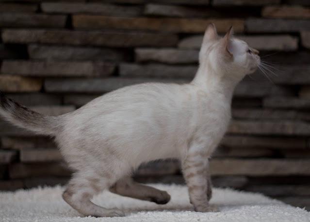 snow leopard cat for sale