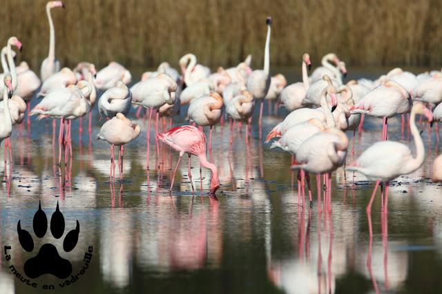 flamant-nain-parc-ornithologique-pont-de-gau