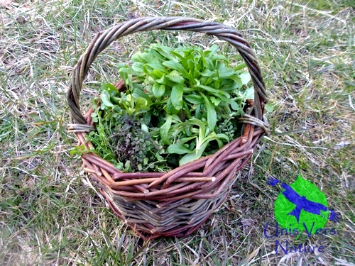 cueillette sauvage, stage, weekend, plantes sauvages comestibles, Jura, ain, bourgogne