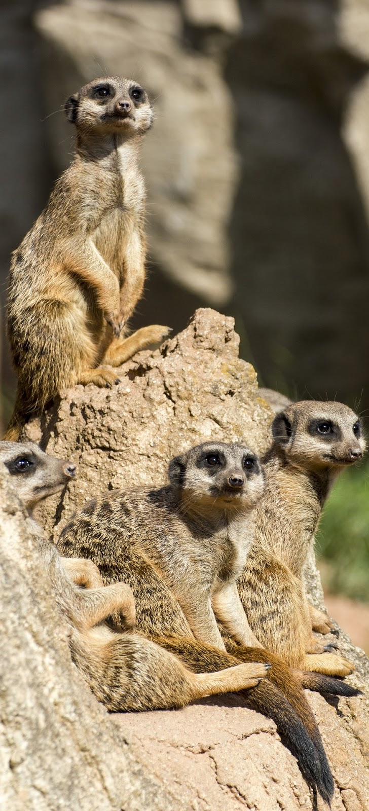 Meerkats on the lookout.