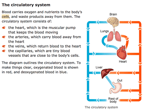 Diagram and information on the circulatory system