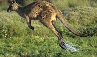 Amazing Kangaroo Facts in Hindi