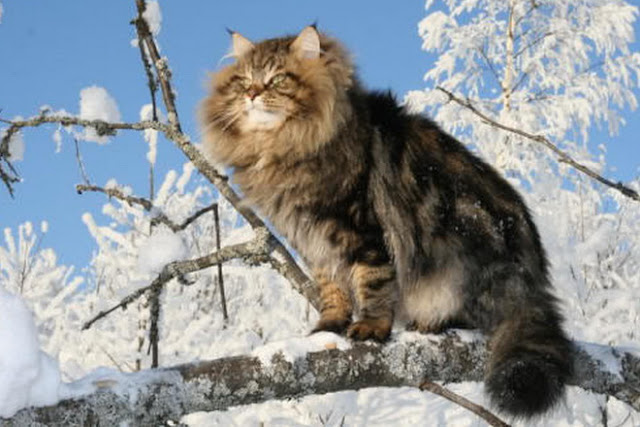 siberian forest cat personality