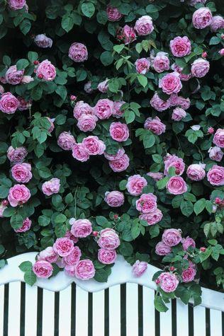 rosales trepadores de rosas grandes