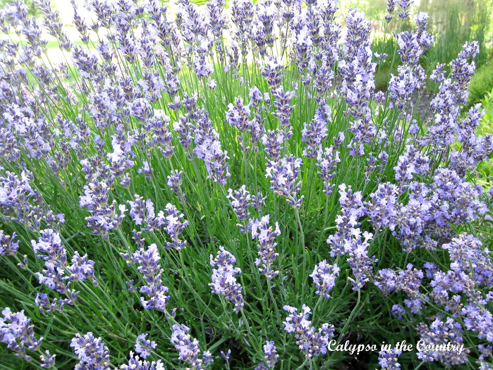 Lavender in Landscaping