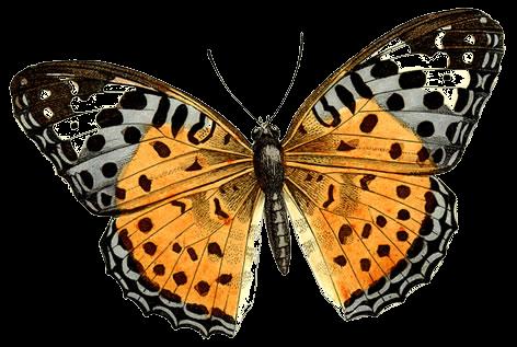 Image ancienne de papillon, en format png pour scrap digital
