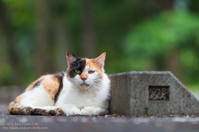 ブラックジャックのような顔した三毛猫