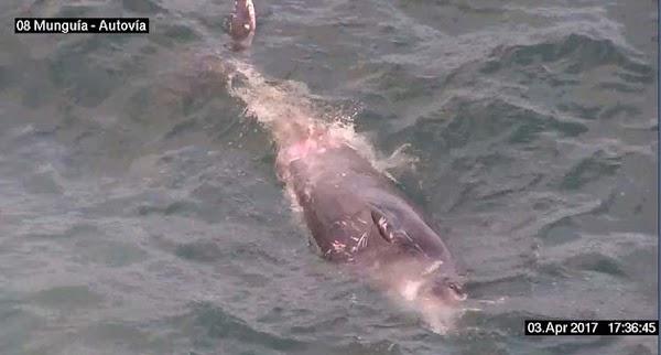 Un cetáceo muerto en Las palmas de Gran Canaria