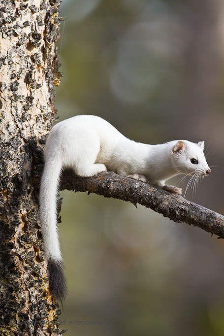 Ermine | A-Z List of 125 Rare Albino Animals [Pics]