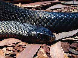Inilah perbedaan gigitan ular berbisa dan tidak berbisa, awasi jangan sampai bengkak, perhatikan petunjuk menolong orang yg dipatok ular tanah atau hijau