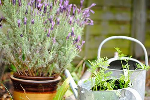 Bước 5 Cách trồng cây oải hương