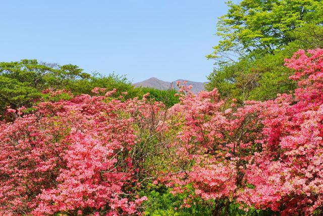 那須八幡のつつじ群落(栃木県)