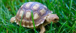 Τι συμβαίνει όταν χελώνα τρώει καυτερή πιπεριά (βίντεο)