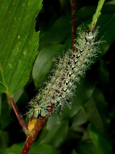 Dirphia avialtoparanensis caterpillar