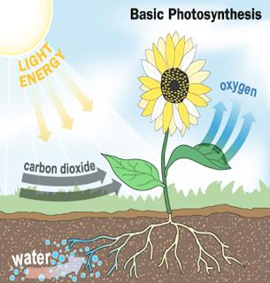 Fotosintesis merubah cahaya matahari dan air menjadi glukosa dan karbon dioksida